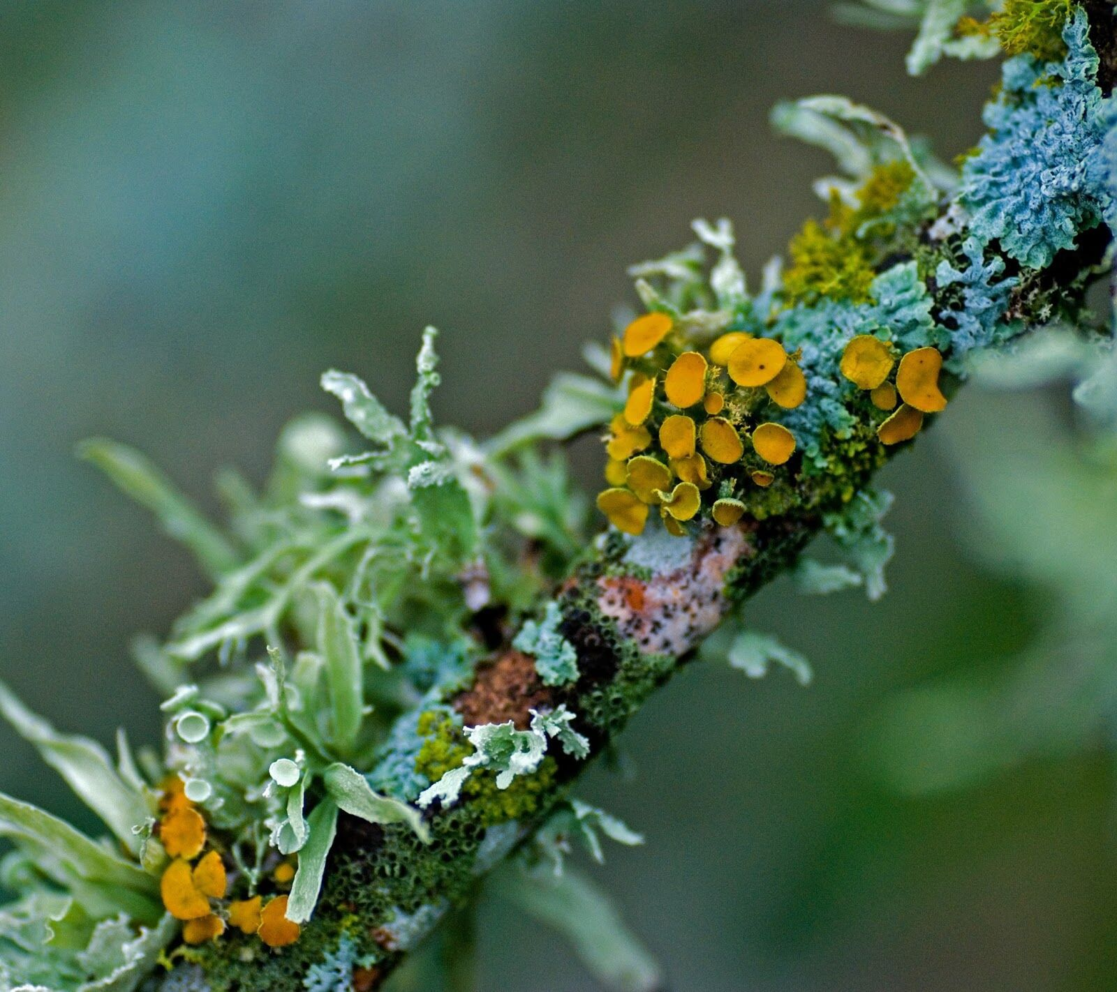 Photo of lichen on a twig
